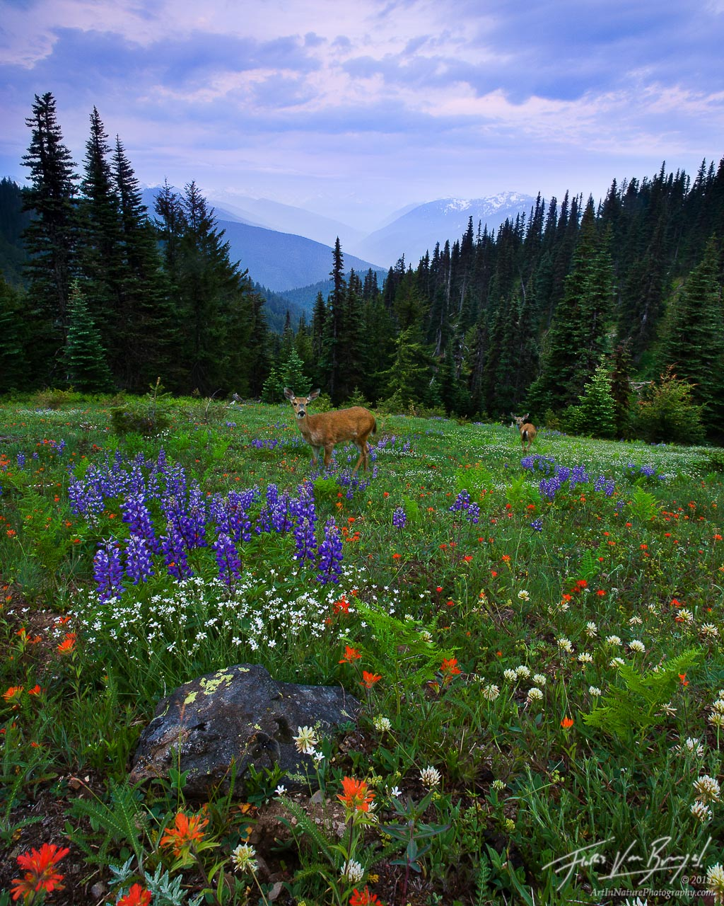 One early spring morning in Washington's Olympic National Park, in a remote section of Hurricane Ridge, I found this delightful spring garden, complete with two mule deer.